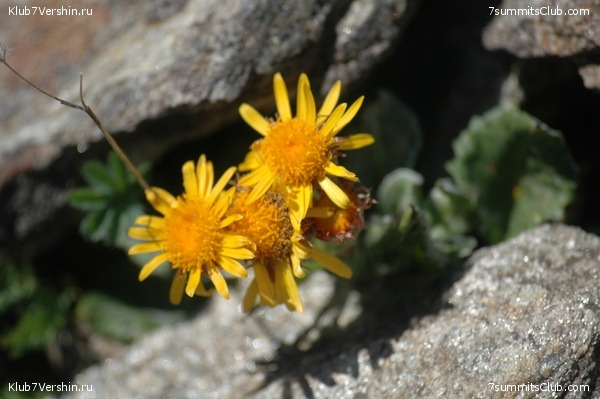 Flowers of Elbrus region, photo 9